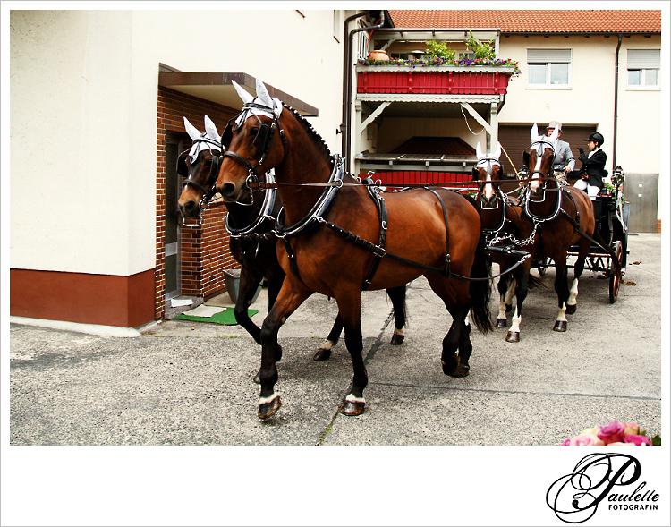 Hochzeitskutsche mit Vierergespann braunen Pfereden mit Scheuklappen verlässt den Reiterhof Wiegand in Fulda Bronnzell.