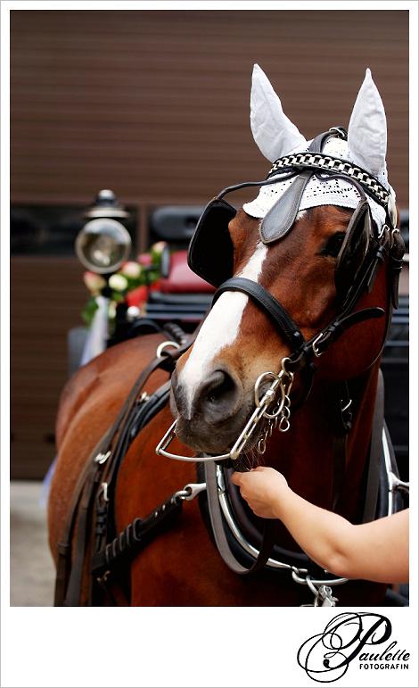 Braunes Pferd mit Scheuklappen zieht die Hochzeitskutsche zur Kirche in Fulda Bronnzell.
